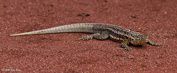 Lava Lizard - Ravida Island9 July 2012